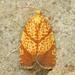 Argyrotaenia quadrifasciana - Photo (c) David Beadle, todos los derechos reservados, uploaded by dbeadle