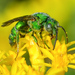 Augochlorine Sweat Bees - Photo (c) amoorehouse, all rights reserved