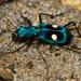 Pseudoxycheila tarsalis - Photo (c) andriusp, todos los derechos reservados