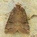 Protorthodes incincta - Photo (c) David Beadle, todos los derechos reservados, uploaded by dbeadle