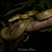 Green Rat Snake - Photo (c) Cristian Olvera, all rights reserved
