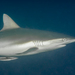 Grey Reef Shark - Photo (c) David R, all rights reserved