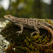 Sceloporine Lizards - Photo (c) Cristian Olvera, all rights reserved