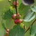 Contarinia petioli - Photo (c) Tig, todos os direitos reservados