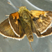 Tawny-edged Skipper - Photo (c) Bill Keim, all rights reserved