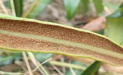 Image of Elaphoglossum acrostichoides