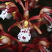 Corallorhiza maculata occidentalis - Photo (c) Mason Maron, todos os direitos reservados