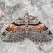 Xanthorhoe labradorensis - Photo (c) Michael King, כל הזכויות שמורות