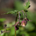 Water Avens - Photo (c) Tig, all rights reserved