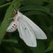 Chionarctia nivea - Photo (c) Taewoo Kim, todos los derechos reservados