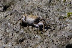 Image of Leptuca crenulata