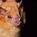 Murciélagos Frugívoros - Photo (c) Diego Barrales, todos los derechos reservados