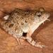 Phrynobatrachus natalensis - Photo (c) Paul Freed, todos los derechos reservados