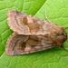 Nephelodes minians - Photo (c) Michael King, todos los derechos reservados
