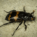 Nicrophorus guttulus - Photo (c) Alice Abela, all rights reserved
