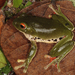 Moltrecht's Green Tree Frog - Photo (c) Paul Freed, all rights reserved
