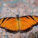 Juno Silverspot - Photo (c) alain01789, some rights reserved (CC BY-NC-ND)