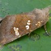Papaipema unimoda - Photo (c) David Beadle, όλα τα δικαιώματα διατηρούνται, uploaded by dbeadle