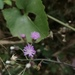 Little Ironweed - Photo (c) heebs02, all rights reserved