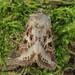 Trichordestra rugosa - Photo (c) David Beadle, todos los derechos reservados, uploaded by dbeadle