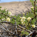 Vachellia reficiens - Photo (c) Terry Gosliner, todos los derechos reservados