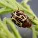 Ambrosia Leaf Beetle - Photo (c) Alice Abela, all rights reserved