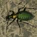 Carabus smaragdinus - Photo (c) Taewoo Kim, כל הזכויות שמורות