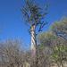 Pachypodium lealii - Photo (c) Terry Gosliner, todos los derechos reservados