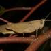 Goniaea vocans - Photo (c) kimba882, todos os direitos reservados