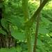 Bengala-Do-Diabo - Photo (c) Cooper Forsman, todos os direitos reservados