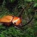 Caliper Beetle - Photo (c) Adriana Hurtado, all rights reserved