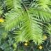 Abies grandis - Photo (c) cmsimoens, todos los derechos reservados
