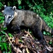 South American Coati - Photo (c) Eliana Pool, all rights reserved