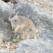 Mareeba Rock-Wallaby - Photo (c) magnusl, all rights reserved
