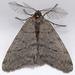 Walnut Spanworm Moth - Photo (c) Gary McDonald, all rights reserved