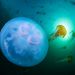 Medusas Luna - Photo (c) Patrick Webster, todos los derechos reservados