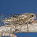 Platypedia scotti - Photo (c) Alice Abela, todos los derechos reservados