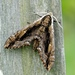 Elm Sphinx - Photo (c) Michael King, all rights reserved