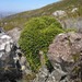 Rock Cushionbush - Photo (c) Chris Whitehouse, all rights reserved