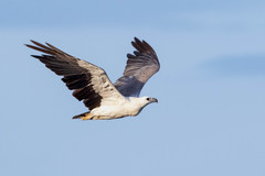 White-bellied Sea-Eagle - Photo (c) Andrew Rock, all rights reserved