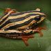 Rana de Junco Marmolada - Photo (c) lucanus, todos los derechos reservados