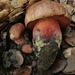 Suillellus amygdalinus - Photo (c) Trent Pearce, todos los derechos reservados
