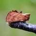 Ptilodon capucina - Photo (c) olav, todos los derechos reservados, uploaded by Olav Krogsæter