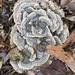 Turkey-Tail - Photo (c) Jonathan Marchal, all rights reserved