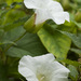 False Bindweeds - Photo (c) Tig, all rights reserved