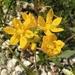 Yellow Onion - Photo (c) Alfredo Garrido, all rights reserved