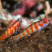 Gobies - Photo (c) Francois Libert, some rights reserved (CC BY-NC-SA)