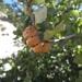 Disholandricus reniformis - Photo (c) dinodan, todos los derechos reservados
