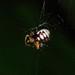 Araneus ejusmodi - Photo (c) WK Cheng, todos los derechos reservados
