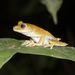 Stained Tree Frog - Photo (c) Ameet, all rights reserved, uploaded by Ameet Zaveri